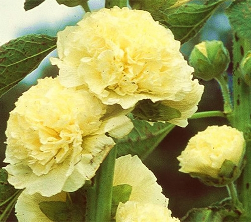 Flower 50 seeds CHATERS DOUBLE TRIUMPH WHITE Althaea rosea Details about  /HOLLYHOCK