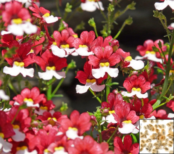 Nemesia danish flag 1100 seeds nemesia strumos 299 nemesia danish flag 1100 seeds nemesia strumosa red white flower mightylinksfo