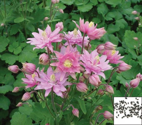 Aquilegia Pink Barlow seeds