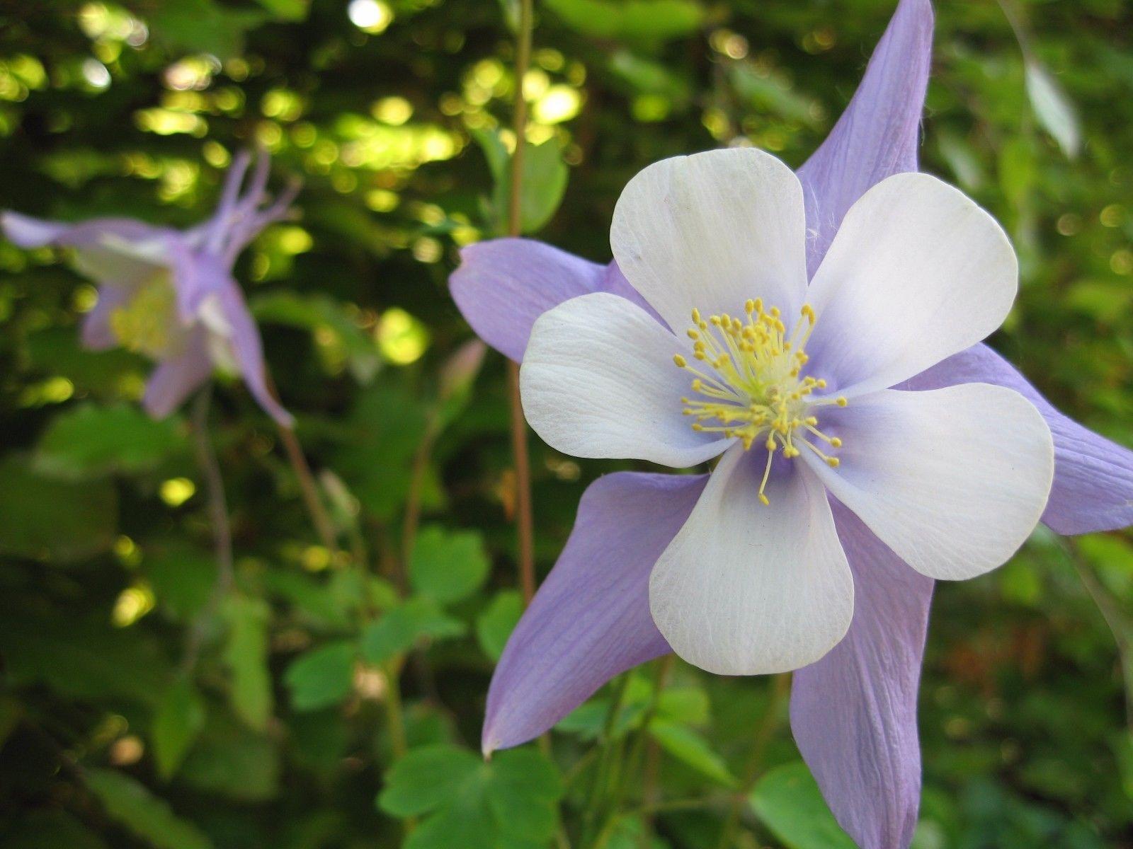 Perennial Flower Aquilegia Caerulea Columbine Blue 299 Images